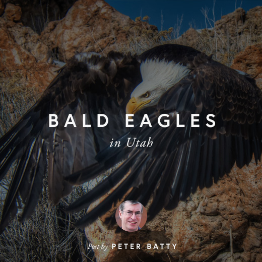 BALD EAGLES IN UTAH by PETER BATTY